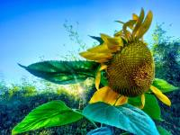 Molokai sunflower pegge