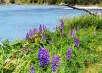 kasilof-river-lupin-alaska-by-pegge-erkeneff